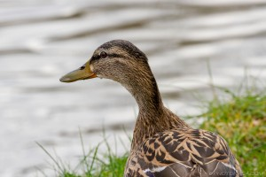 close up of female mallard next to water