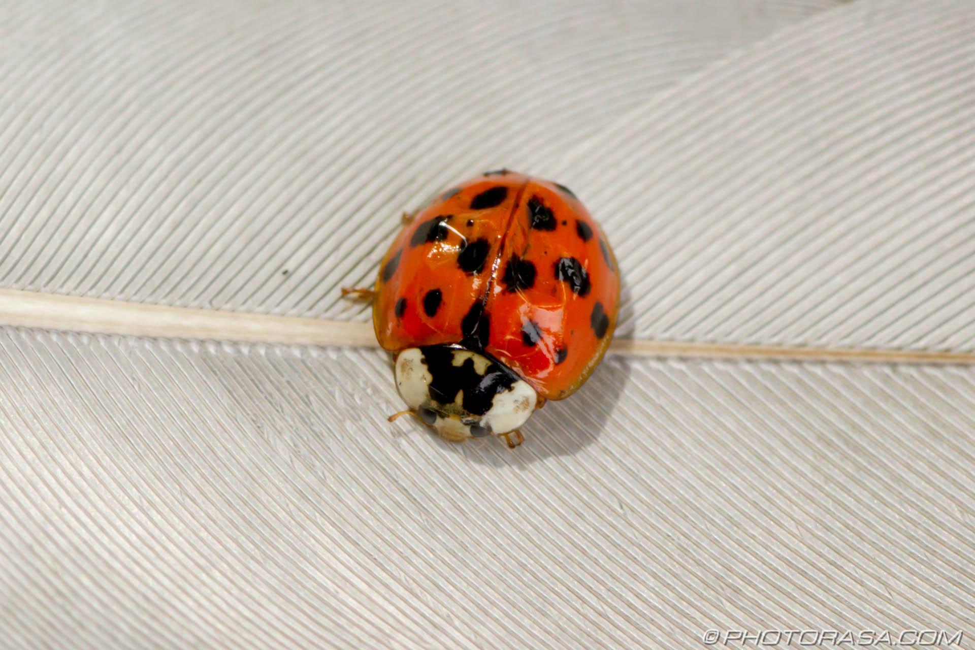 http://photorasa.com/beetles/close-up-of-ladybird-with-on-feather/
