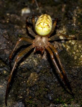 common yellow orb spider