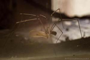daddy long legs eating captured prey