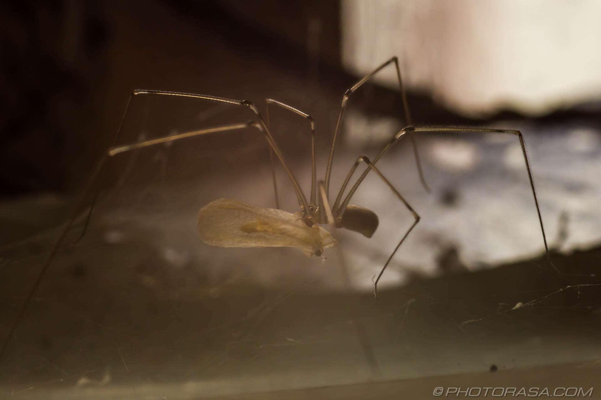 http://photorasa.com/cellar-spiders/daddy-long-legs-eating-captured-prey/