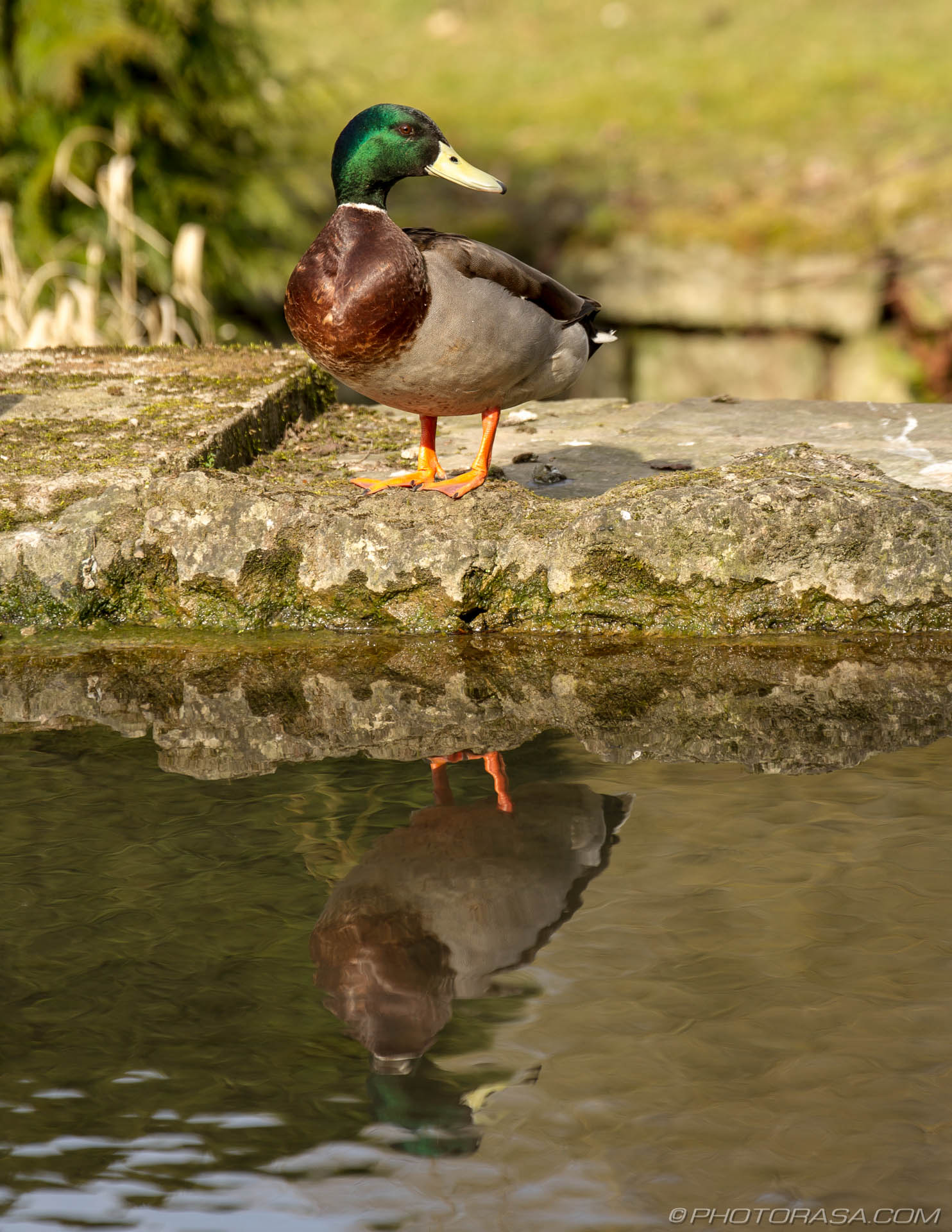 http://photorasa.com/mallard-ducks/drake-at-the-waters-edge/