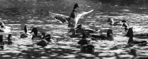 duck conducting