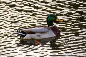 duck on reflected water