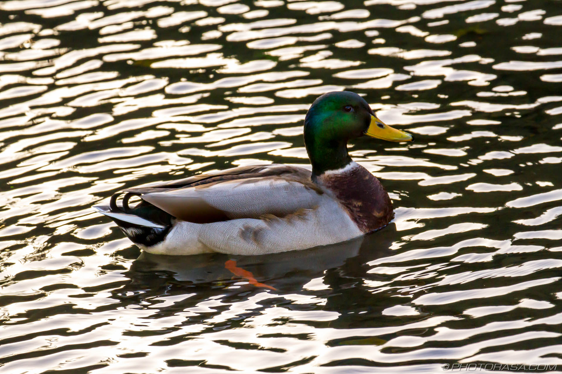 https://photorasa.com/mallard-ducks/duck-on-reflected-water/