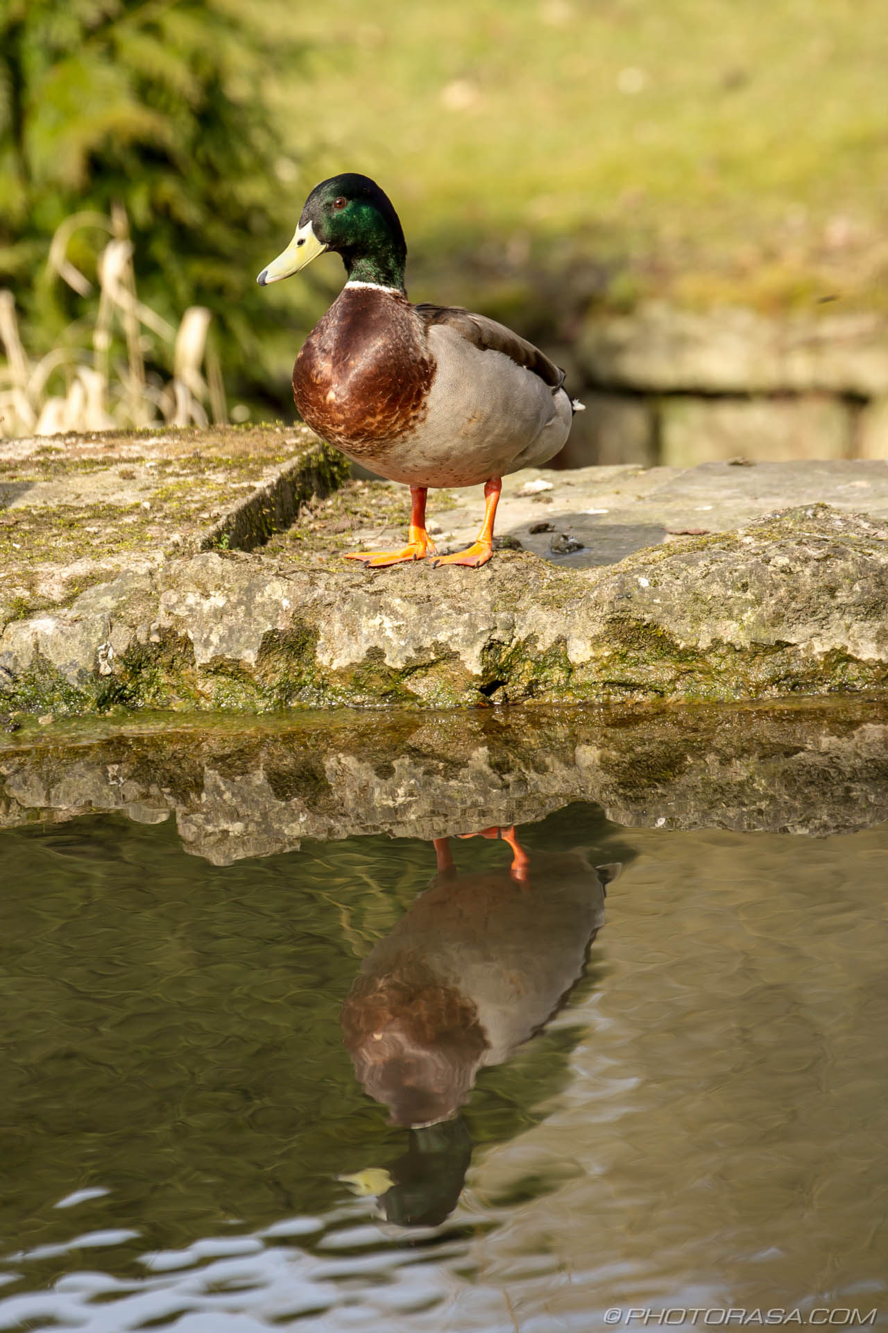 http://photorasa.com/mallard-ducks/duck-reflection/