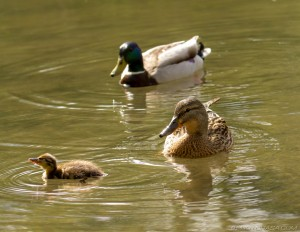ducking with mum and dad