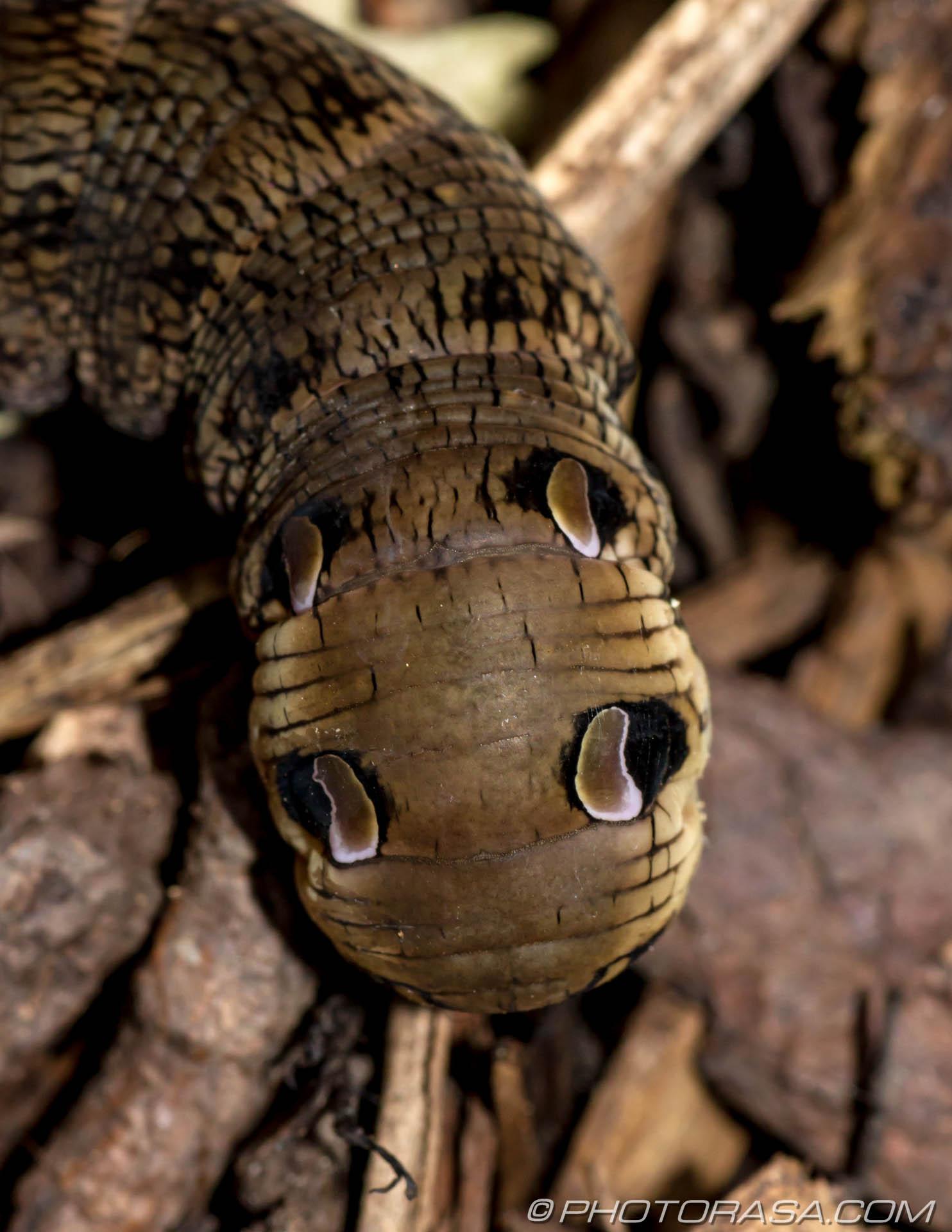 https://photorasa.com/elephant-hawk-moth-caterpillar/eye-markings/