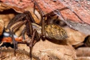 female giant house spider next to bricks