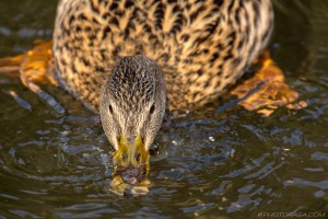 female mallard collecting food from water with bill