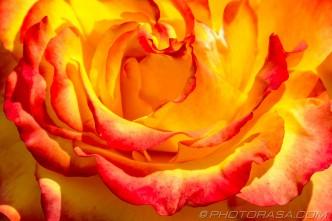 flame rose petals