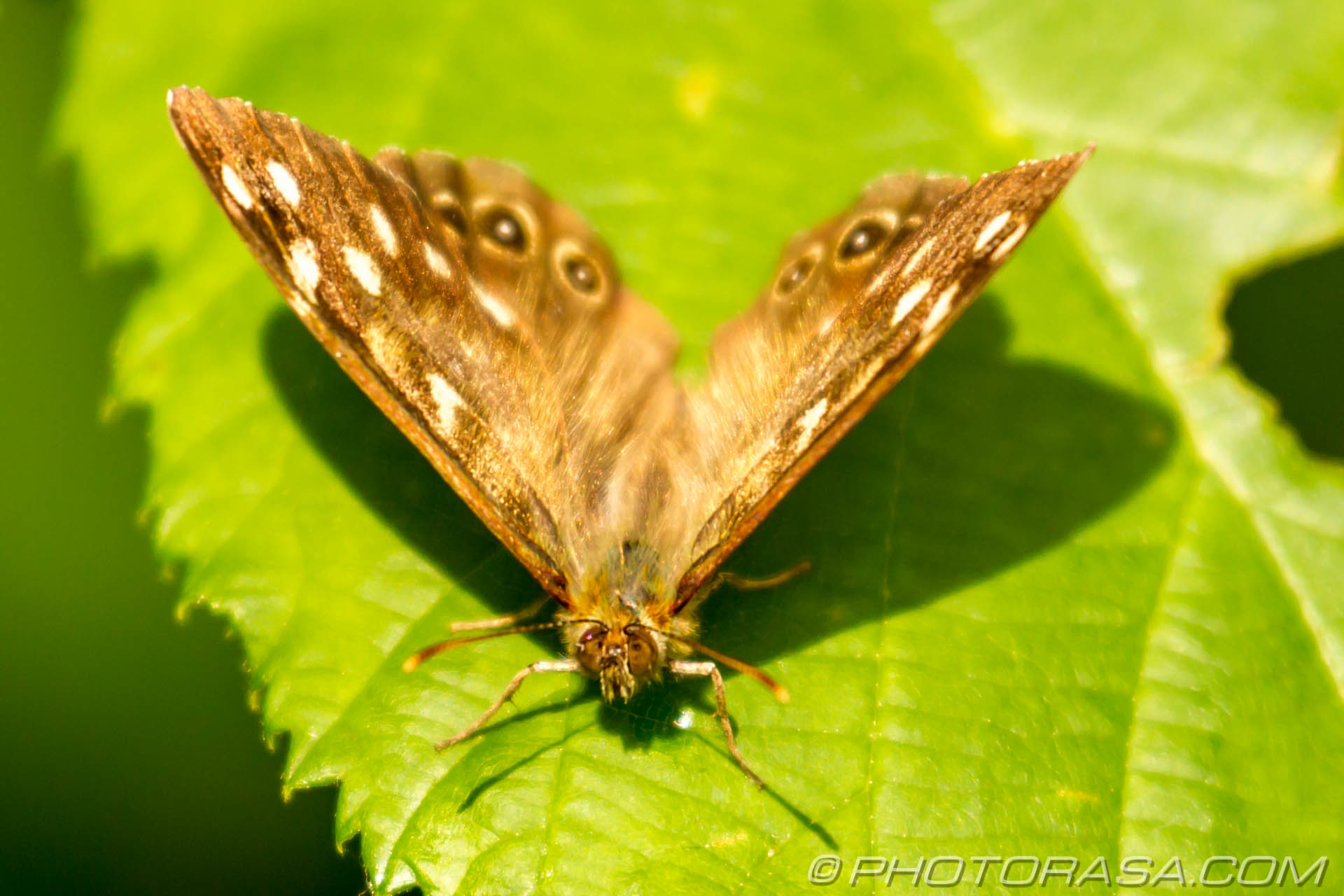 http://photorasa.com/speckled-wood-butterfly/front-view-2/