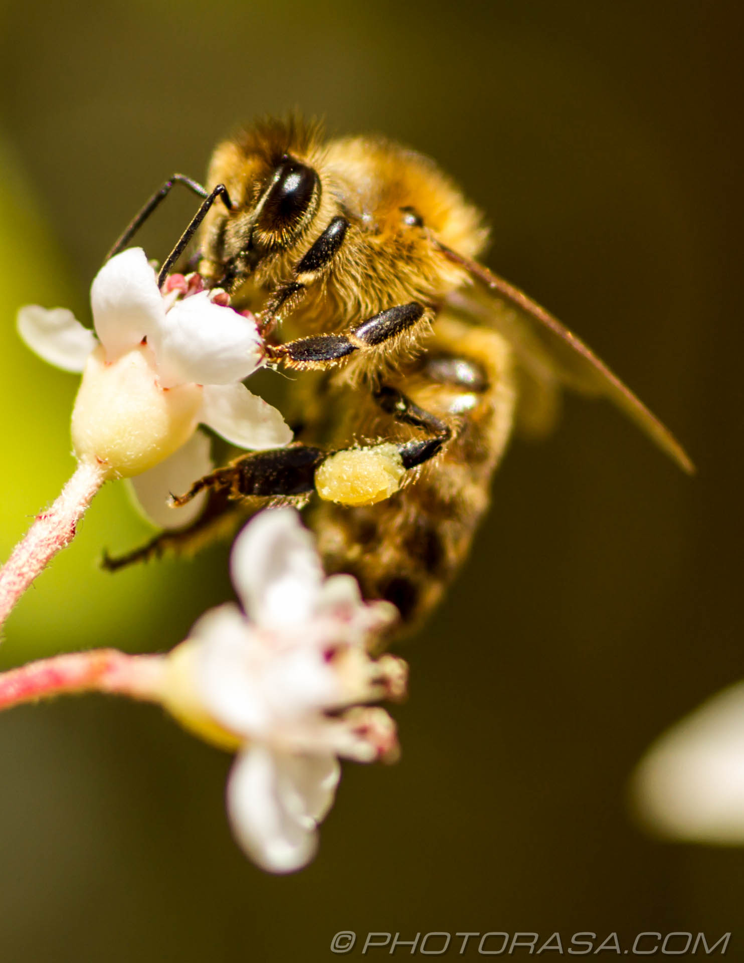 http://photorasa.com/honey-bees/honey-bee-on-flower-with-pollen-collected-on-rear-leg/