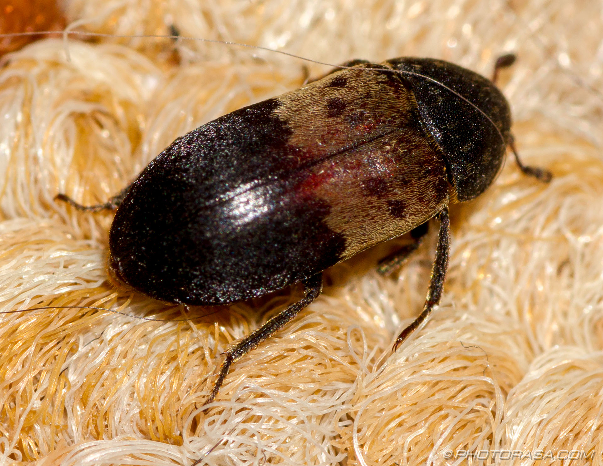 http://photorasa.com/beetles/larder-beetle/