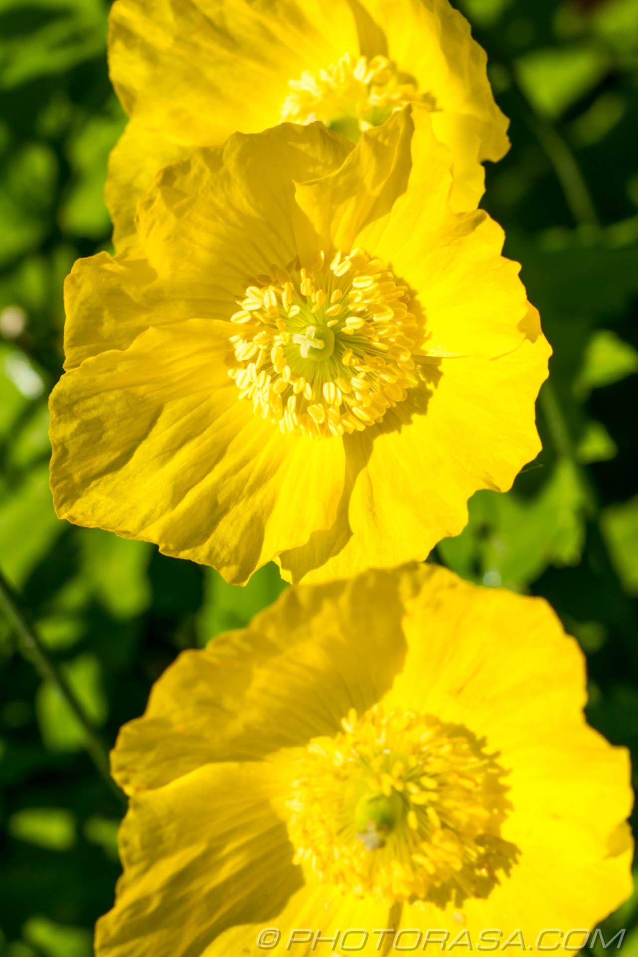 https://photorasa.com/buttercups/large-buttercups/