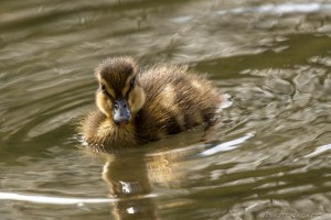 little duckling looking at camera