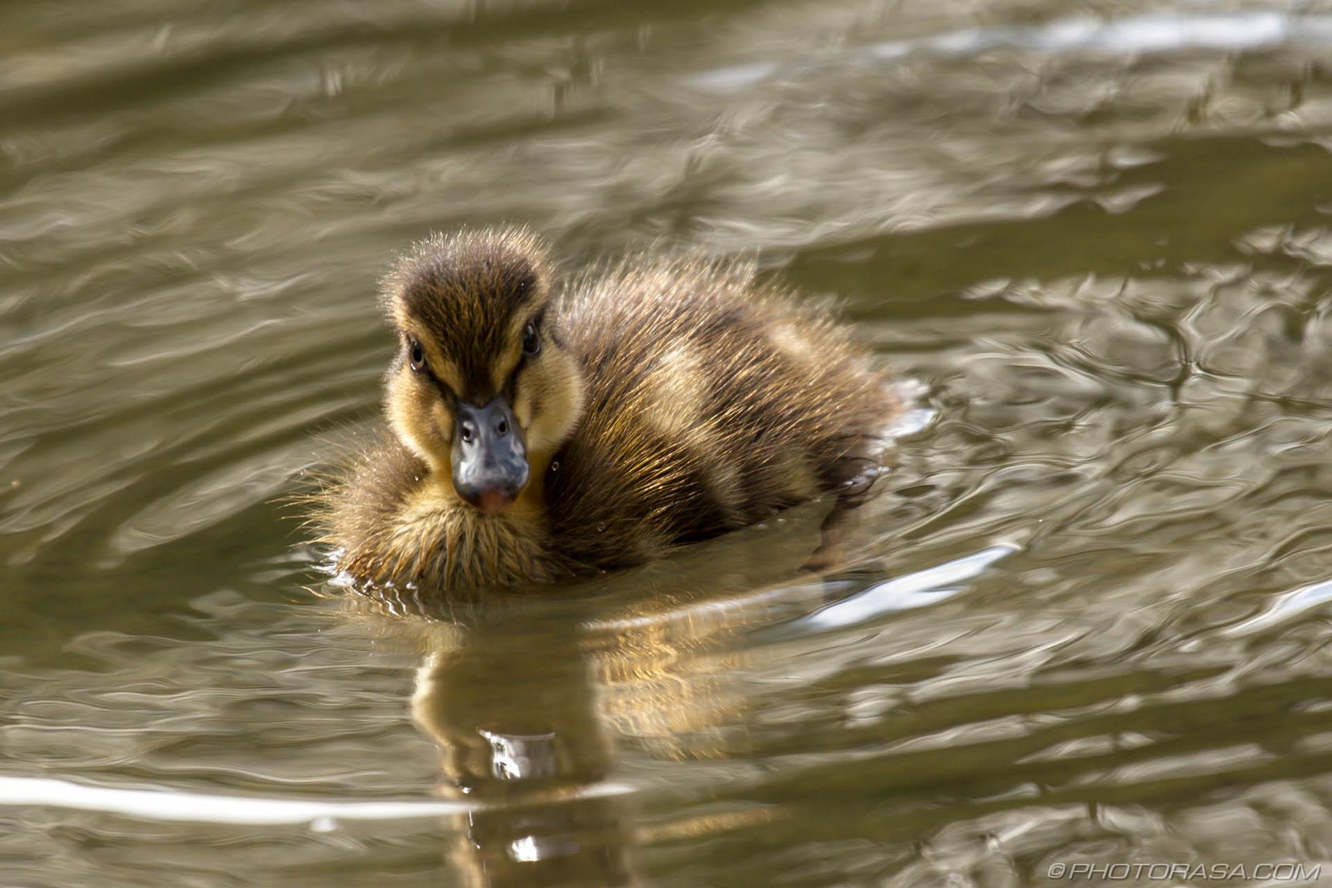 https://photorasa.com/mallard-ducks/little-duckling-looking-at-camera/