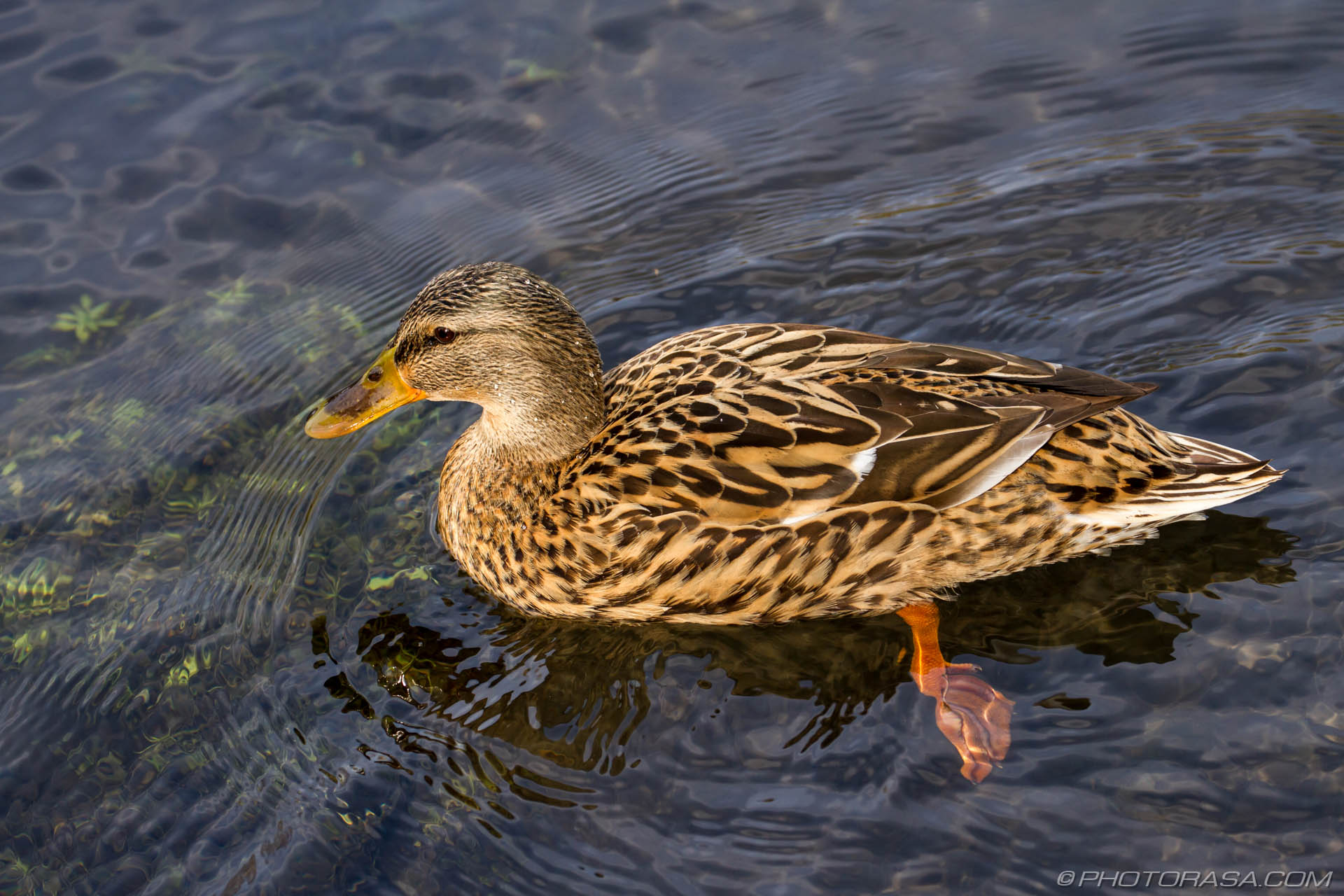http://photorasa.com/mallard-ducks/mallard-swimming-past/