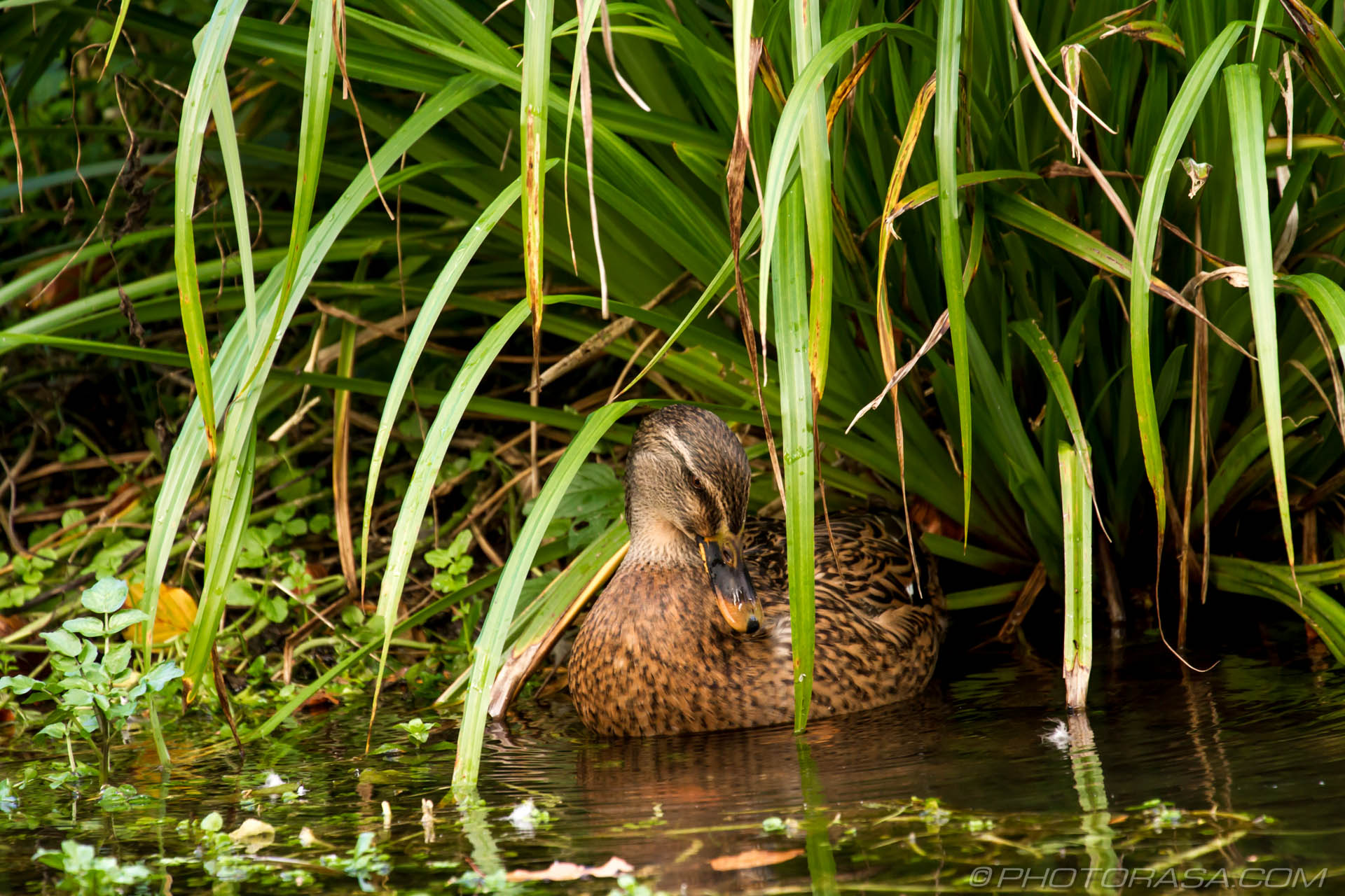 https://photorasa.com/mallard-ducks/mallard-under-the-green-reeds/