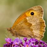 meadow brown female underside