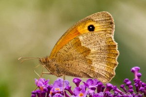 meadow brown female underside