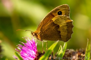 meadow brown from the side