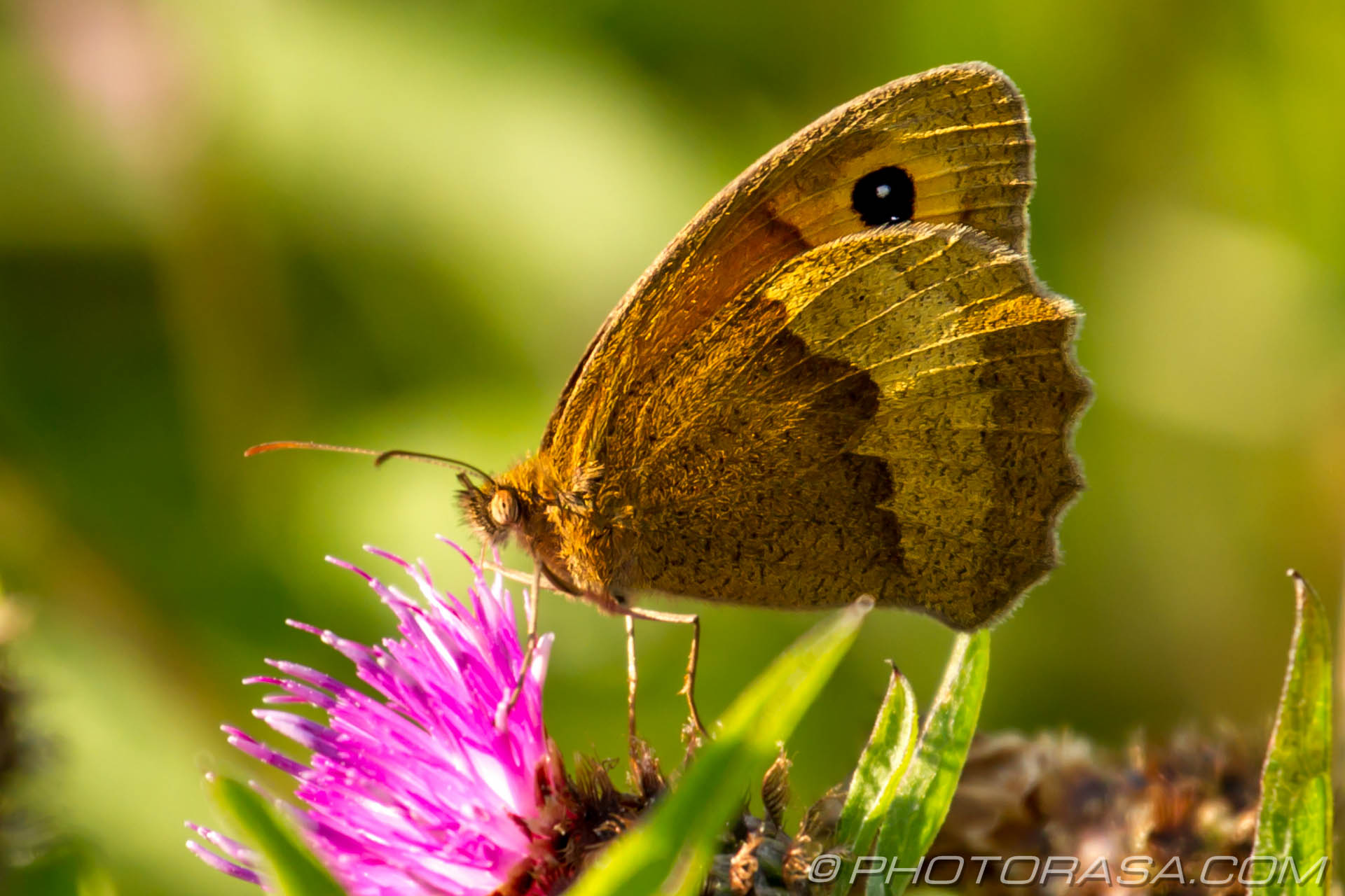 http://photorasa.com/meadow-brown-butterfly/meadow-brown-from-the-side/