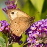 meadow brown male underside with 3 black spots