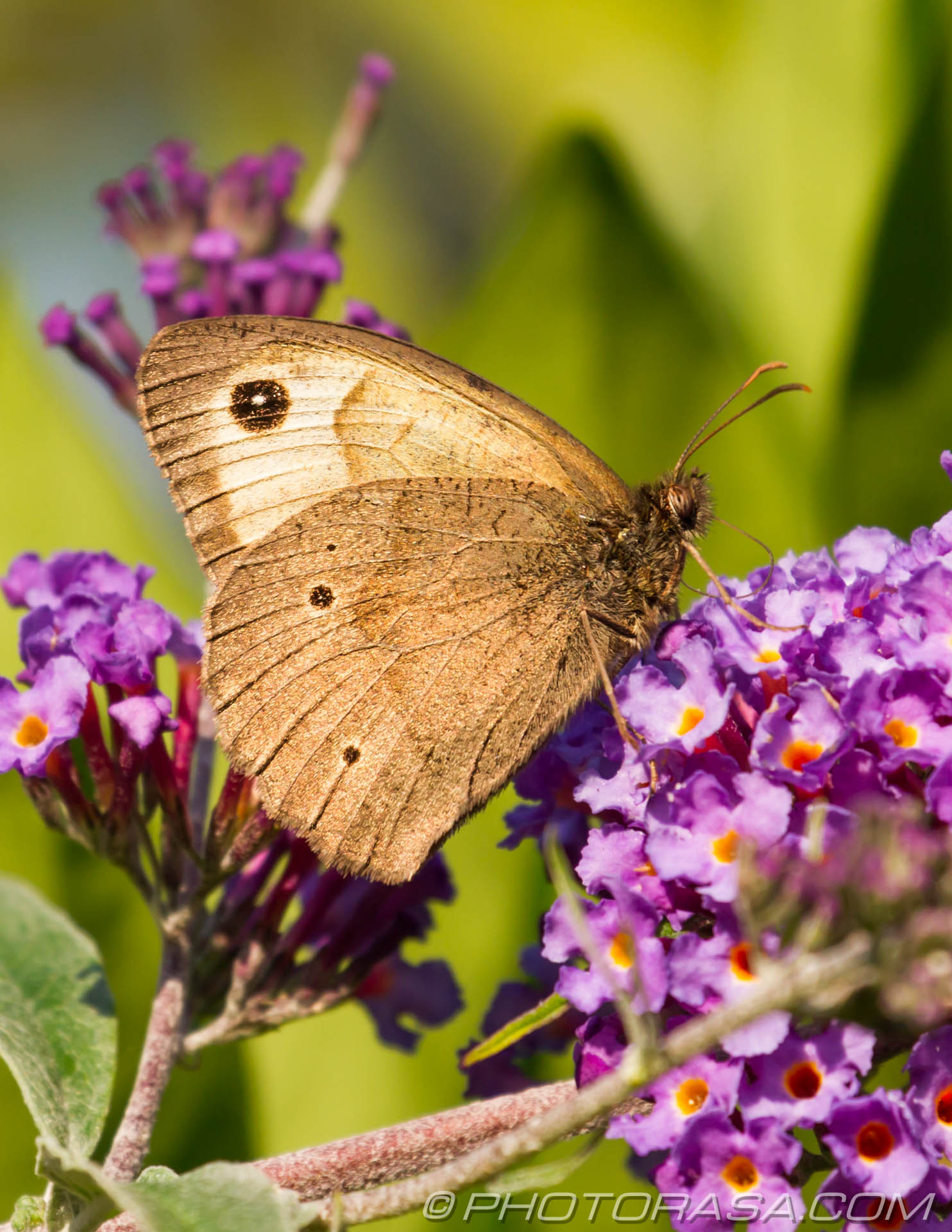 http://photorasa.com/meadow-brown-butterfly/meadow-brown-male-underside-with-3-black-spots/