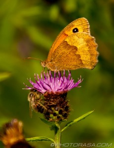 meadow brown on thistle flower