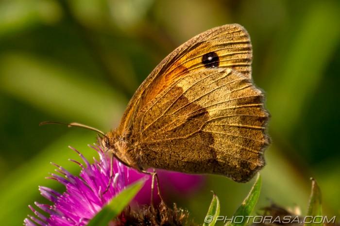 meadow brown wing membranes