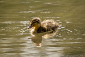 paddling baby duck in sunlight
