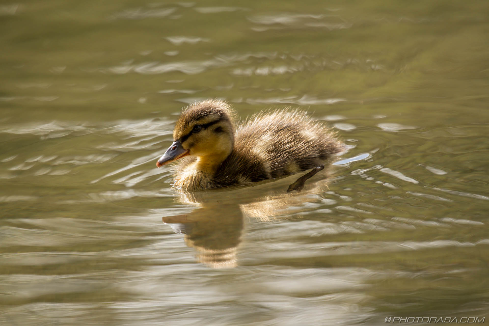 http://photorasa.com/mallard-ducks/paddling-baby-duck-in-sunlight/