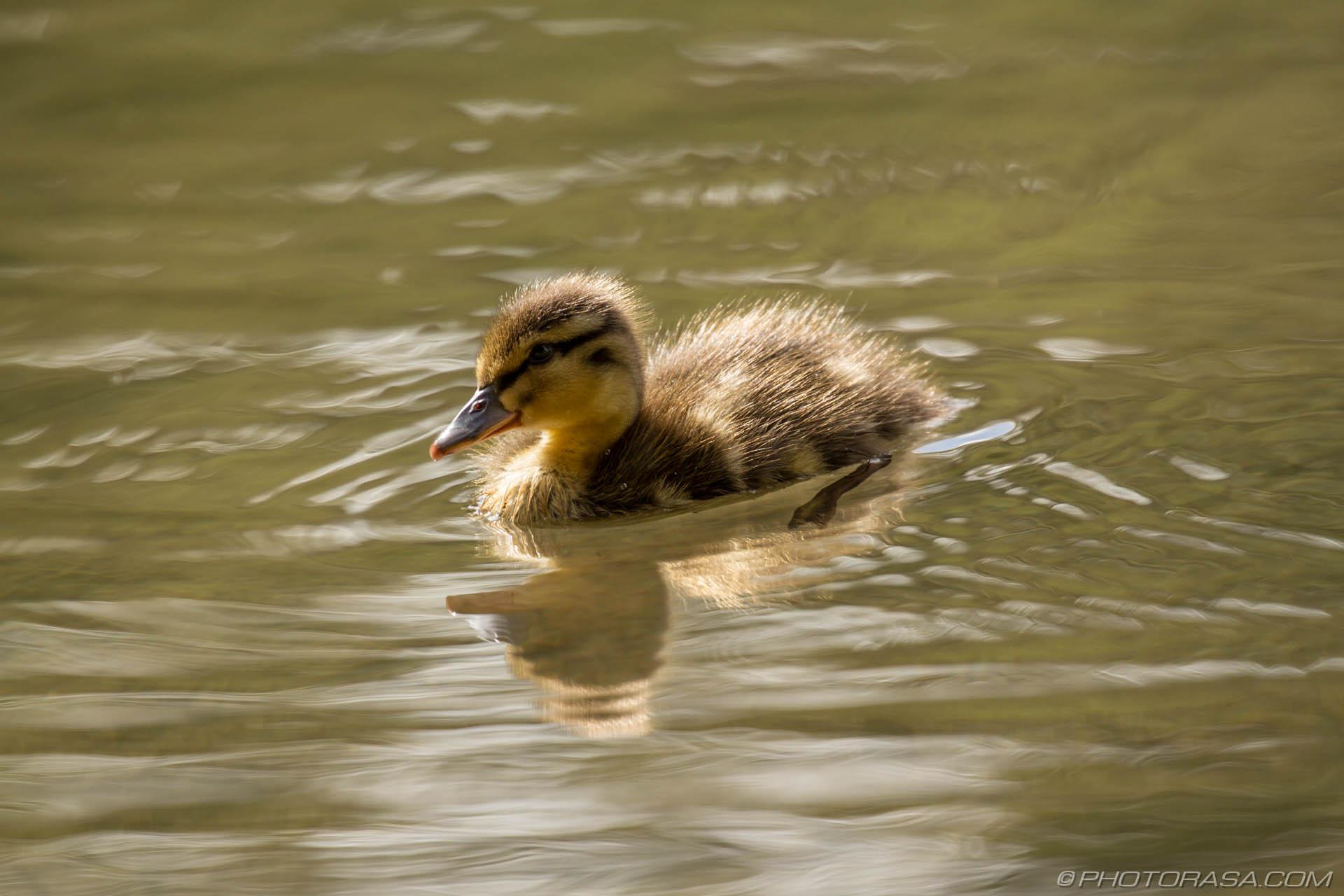 https://photorasa.com/mallard-ducks/paddling-baby-duck-in-sunlight/