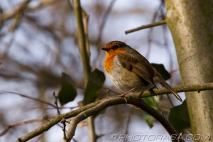 puffed robin on a branch