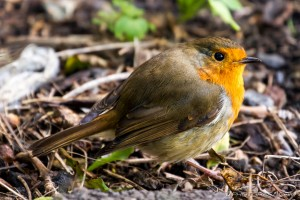 puffed up robin redbreast
