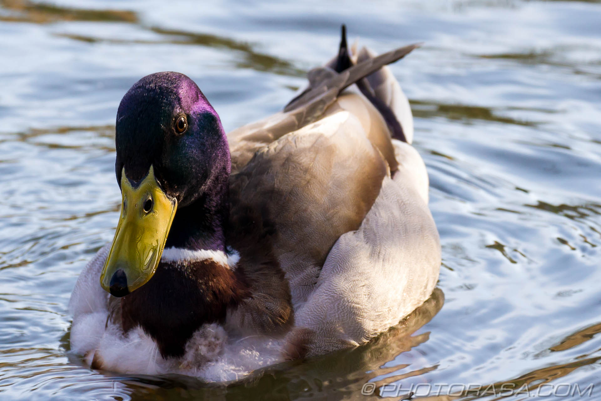http://photorasa.com/mallard-ducks/purple-mallard-head/
