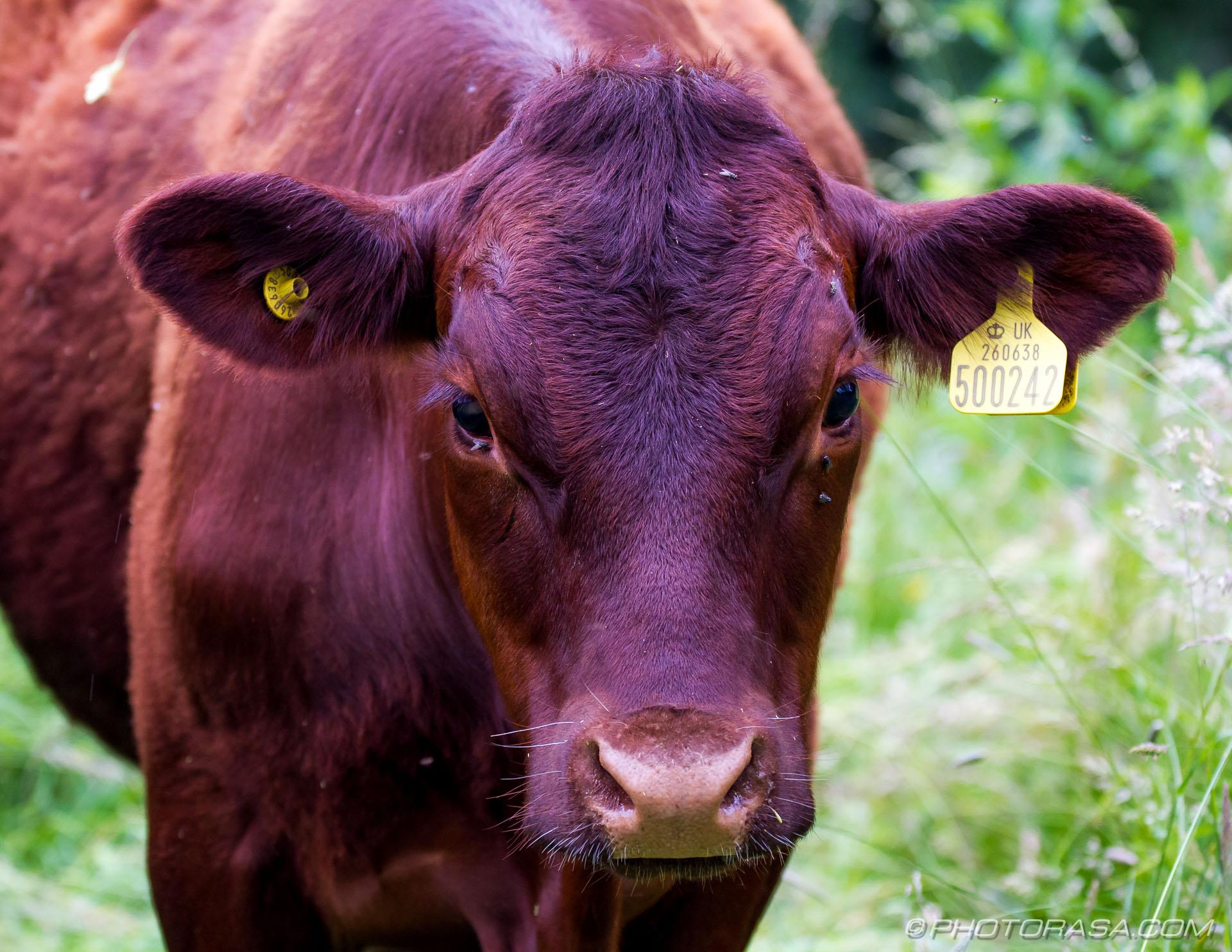 Cows Photorasa Free Hd Photos