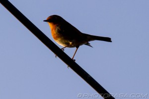 robin on telephone line