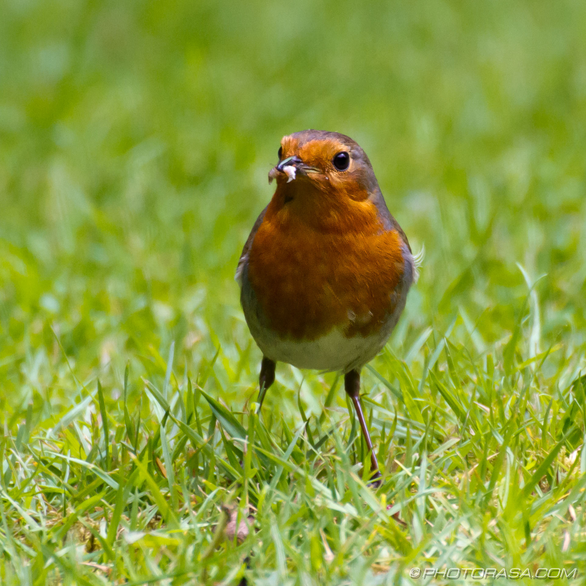 https://photorasa.com/robins/robin-with-food-in-beak/