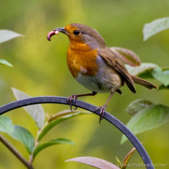 robin with worm in beak