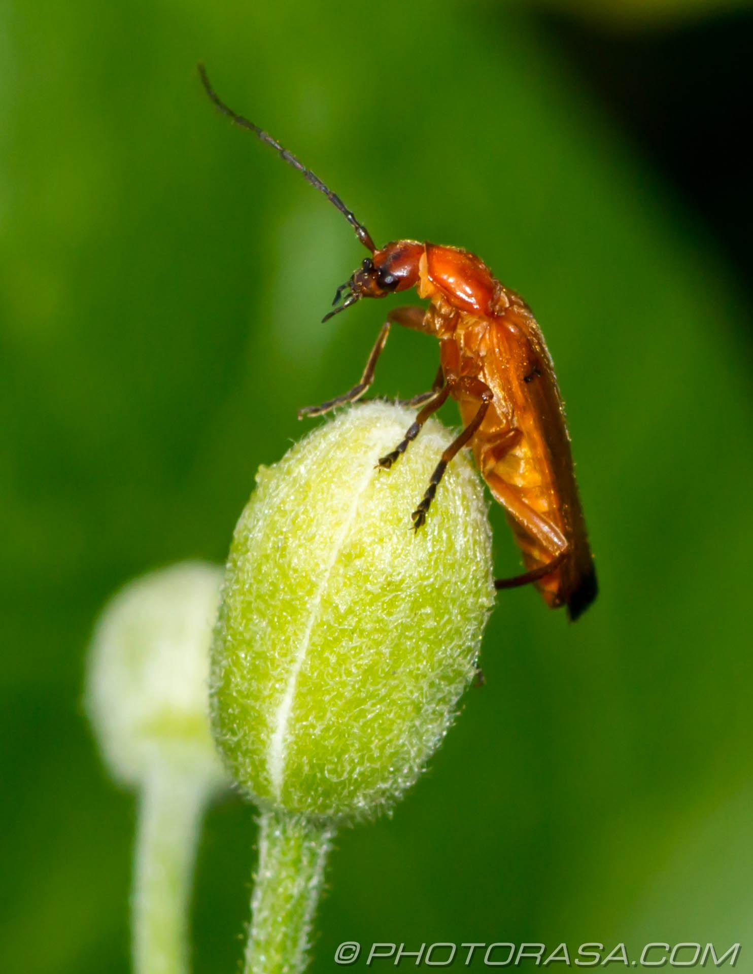 http://photorasa.com/beetles/soldier-beetle/