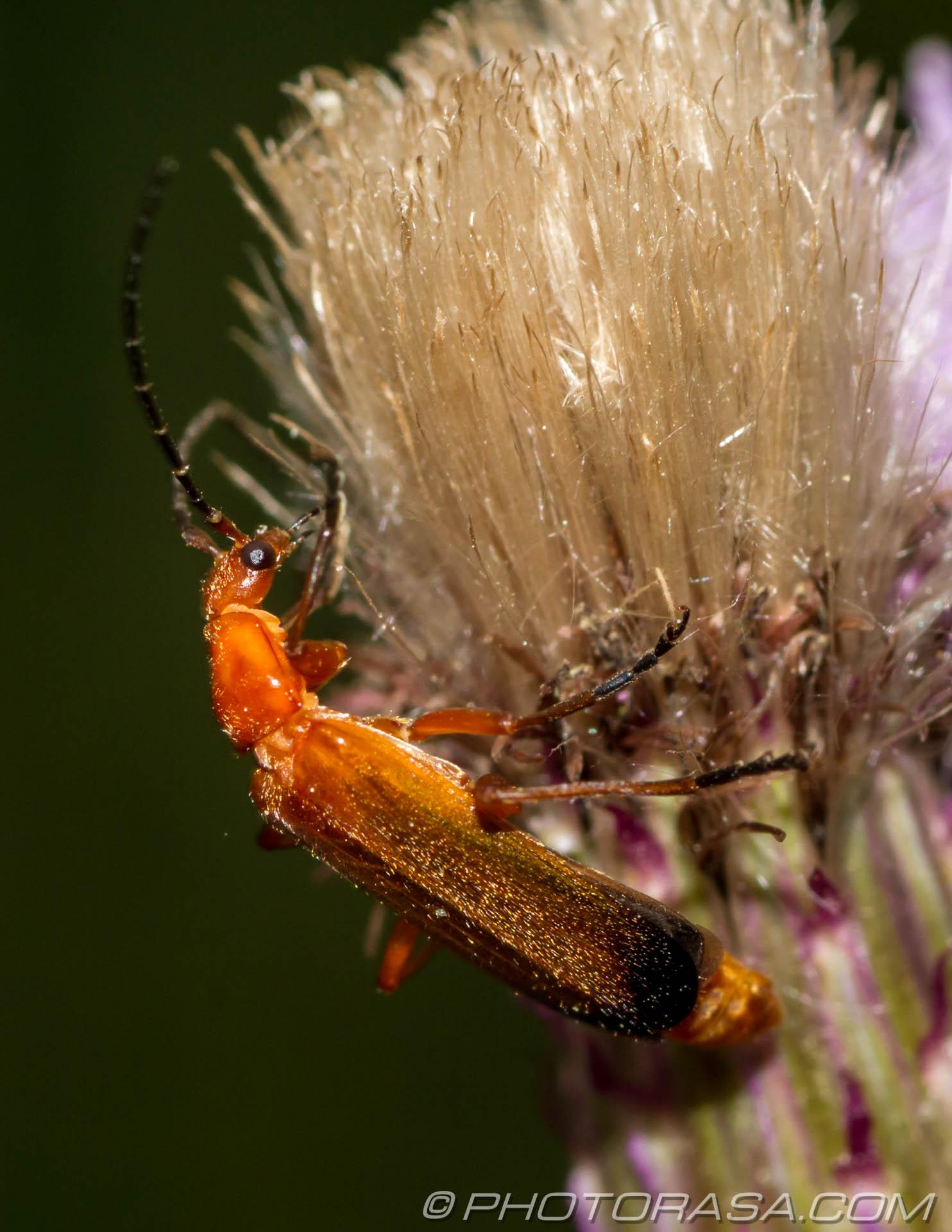 http://photorasa.com/beetles/soldier-beetle-2/
