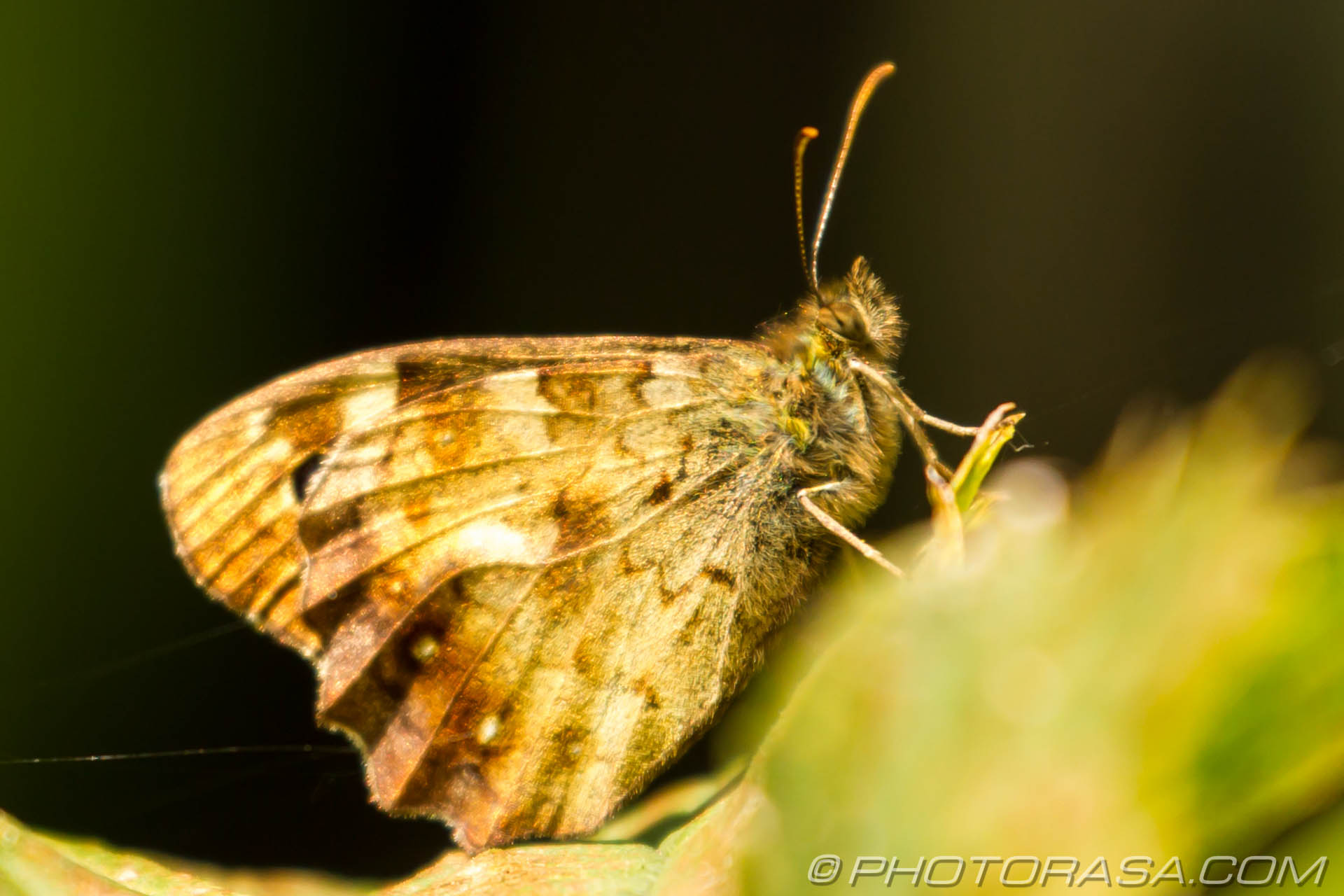 http://photorasa.com/speckled-wood-butterfly/speakled-wood-underside/