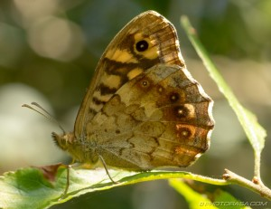 speckled wood butterfly underside