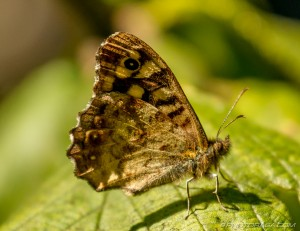 speckled wood butterfly underwing