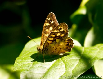 speckled wood in sunlight