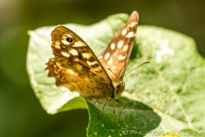 speckled wood on leaf