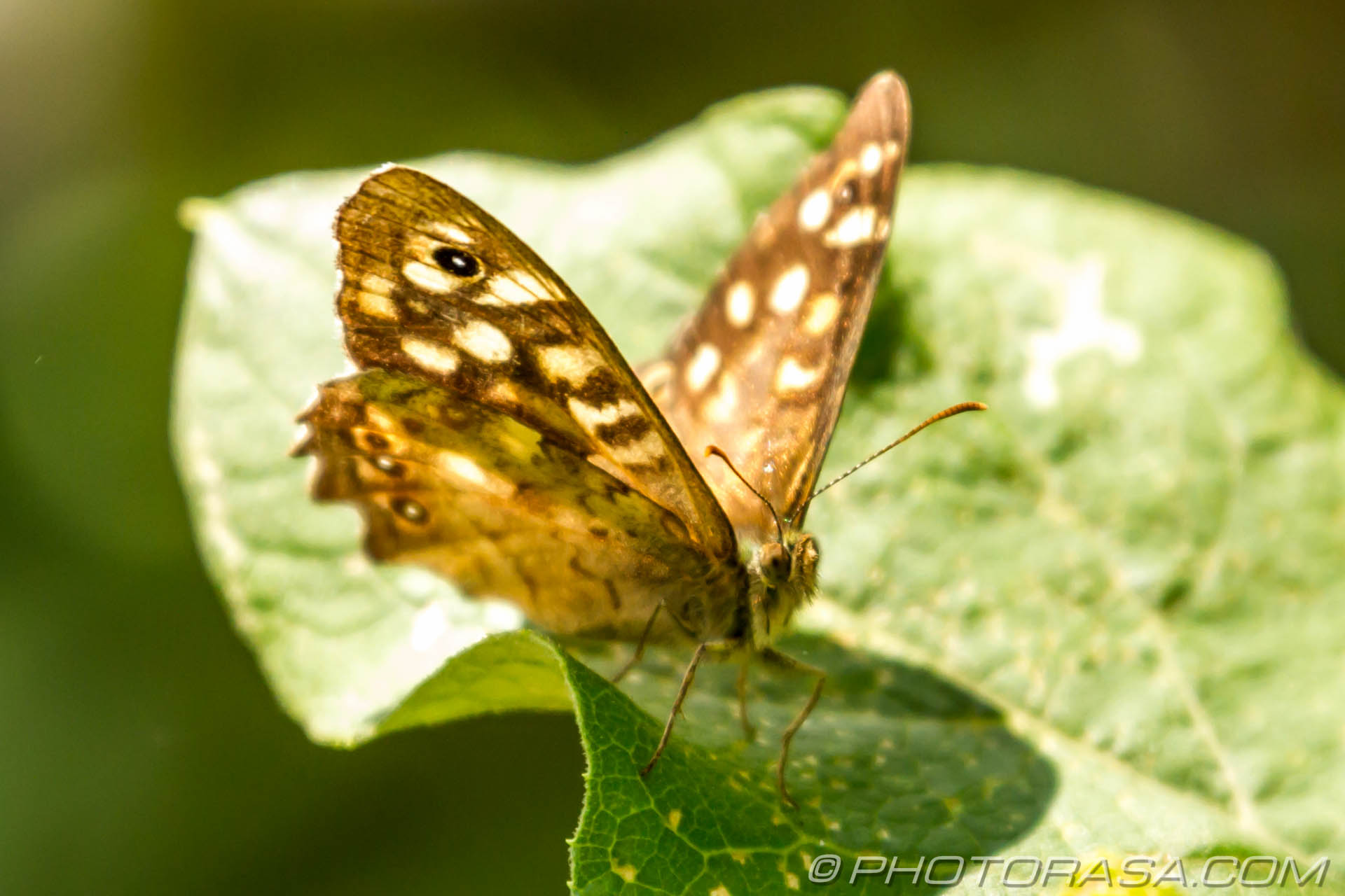 http://photorasa.com/speckled-wood-butterfly/speckled-wood-on-leaf/
