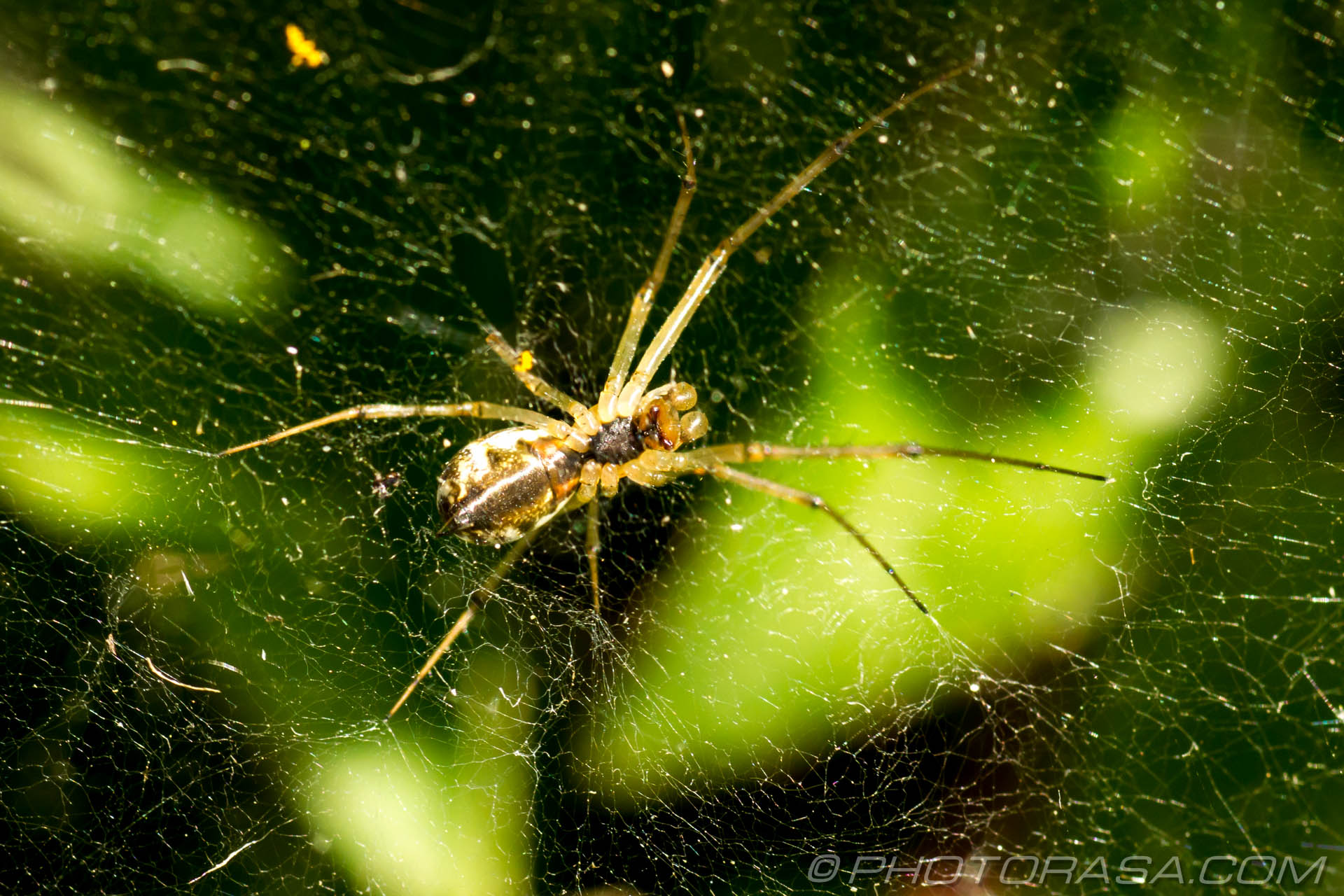 http://photorasa.com/common-orb-weaver-spiders/spider-in-mesh-web/